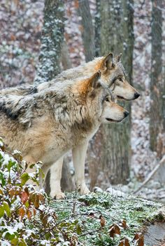 Timber wolf by : Michael Cummings