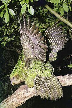 Kakapo parrot (New Zealand), world's heaviest parrot (> 9 pounds km); flightless parrot, & only nocturnal one. Less than 150 in the wild. Flightless Parrot, Kakapo Parrot, Rare Birds, Exotic Birds, Colorful Birds, Beautiful Birds, Animals Beautiful, Animals And Pets, Cute Animals