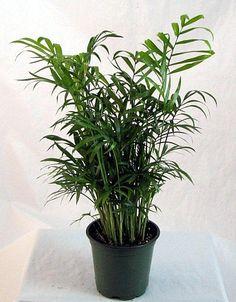 """FOR DANIELLE: Hirt's Victorian Parlor Palm - Chamaedorea - Indestructable - 4"""" Pot Hirt's Gardens http://www.amazon.com/dp/B0041EGMJ4/ref=cm_sw_r_pi_dp_dYHRub0HKW0M9"""