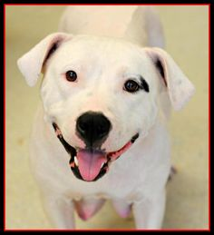 Meet --Muneca, a Petfinder adoptable American Bulldog Dog | Spring Lake, NJ | Muneca is an amazing, 3 yr. old, female, Bull dog mix who was saved by Rescue Ridge, along with her...