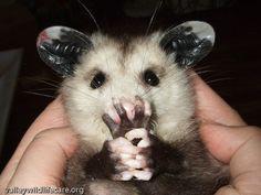 possum pictures | Yuku free message boards