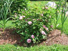 Salet rose