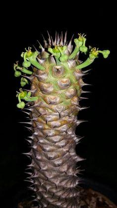 Euphorbia sapinii