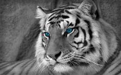 White Tiger Desktop Backgrounds Wallpaper