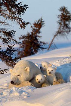 Hoy, 27 de febrero se conmemora el Día Internacional del Oso Polar. Este día se instituye con el fin de crear conciencia general al respecto de la cada vez más difícil situación por la que atraviesan como consecuencia del cambio climático.   No importa donde vivas, tú puedes ayudarlos siendo más amable con nuestro planeta.