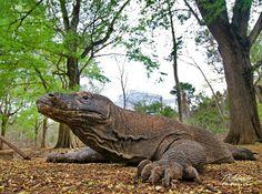 Lizards, Reptiles, Komodo Dragons, Unusual Animals, Insects, Awesome, Komodo Dragon, Dragons, Monitor Lizard