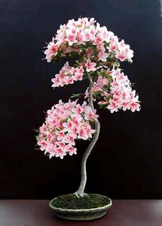 Bonsai... Look at th flowers.                                                                                                                                                                                 Mais