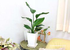 花言葉が、「輝かしい未来」の観葉植物 オーガスタ。飾ると優雅な雰囲気を楽しめます。大きめな葉っぱの蒸散作用により生きた加湿器にも。風水的にも良い観葉植物です。 #観葉植物 #インテリア #緑 #ブルーミングスケープ http://www.bloom-s.co.jp/fs/bloomingscape/g6-ogasuta