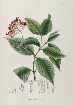 no HD illustration available(4) - http://www.plantillustrations.org/