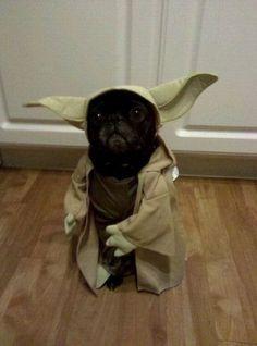 Yoda Pug. Funny