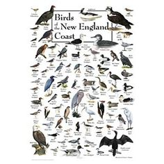 Birds of the New England Coast Poster by Ernest C. Simmons and Mark Garland