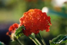 Verbena is a hardy perennial.