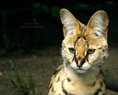 Serval          [PRINT WITHOUT WATERMARK] by Lunnika-Horo.deviantart.com on…