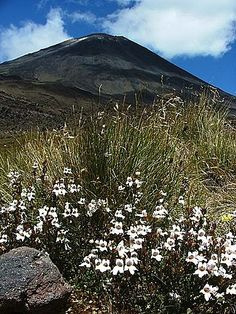 Travyde guide to Tongariro National Park, New Zealand: Tararua eyebright with Ngauruhoe behind