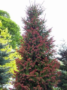 Red-tip Norway spruce (Picea abies 'Ruba Spicata')