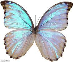 One of my favorite translucent butterflies Morpho godarti (Guérin-Méneville, Morpho Butterfly, Blue Morpho, Butterfly Effect, Blue Butterfly, Butterfly Wings, Alphonse Mucha, Art Papillon, Rhino Beetle, Butterfly Pictures