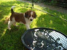 Kooikerhondje... my future dog!