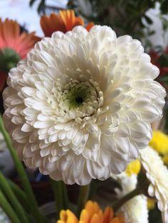 Gerbera Pom Gerbera, Plants, Flowers, Flora, Plant, Planting