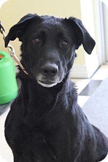Paris, ME - Shepherd (Unknown Type)/Labrador Retriever Mix. Meet RUBY, a dog for adoption. http://www.adoptapet.com/pet/9963753-paris-maine-shepherd-unknown-type-mix