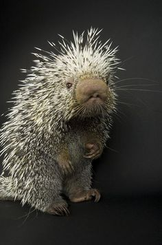 A tree climbing porcupine getting its portrait taken.