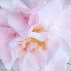 Silken Camellia from the garden.