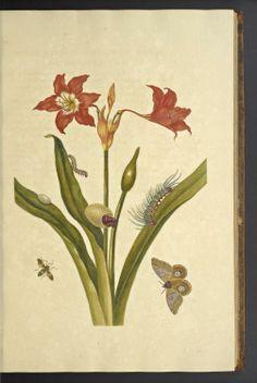 Over de voortteeling en wonderbaerlyke veranderingen der Surinaemsche insecten (About the procreation and wonderbaerlyke changes of Surinaemsche insects), Maria Sybilla Meriaen, 1719.