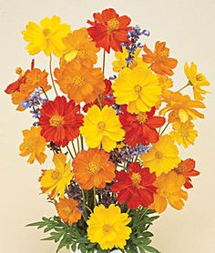 Bright Lights Mixed Colors Cosmos Seeds and Plants, Annual Flower Garden at Burpee.com