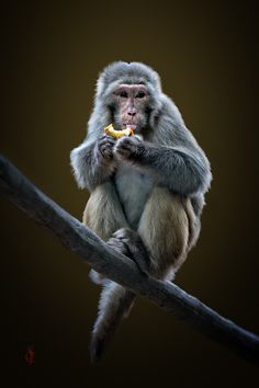 """""""There's NO monkey business going on here!""""  A Rhesus Macaque (Macaca mulatta.)  Photo By: Jcone."""