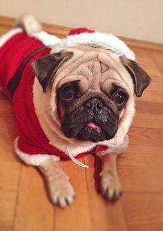 Santa Pug Percy