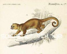 Mammals, Otter, Mustela lutra,1861. Original antique engraving, NOT A COPY Kinkajou, Potos flavus. This print is taken from the Dictionnaire Universel d'Histoire Naturelle,... #orbigny #kinkajou