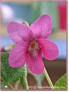 Viola odorata var. rosea
