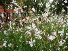 Die Prachtkerze (Gaura lindheimeri) wächst gerne an sonnigen Standorten. Blütezeit Juni-Oktober. Lässt sich gut mit Achnatherum vergesellschaften.