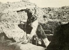 Sentry dog on the Western Front, Served with the Belgian army (British War Dogs: Their Training and Psychology; Skeffington & Son, Ltd, London) War Dogs, Brave Animals, Military Working Dogs, Loyal Dogs, Horses And Dogs, Vintage Dog, World War One, Service Dogs, Dog Photos
