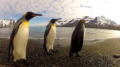 GoPro: Penguin Dance-(Jerk) Off! .. ps.... Don't tell Fred ?