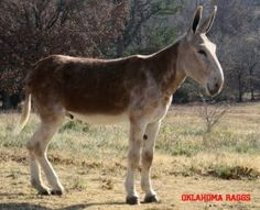 Oklahoma Raggs is a six year old 15 hand 3 1/2 inch roan sorrel jack.