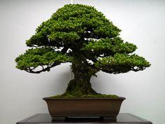 蝦夷松盆栽-yezo-spruce-bonsai-tree-004.JPG