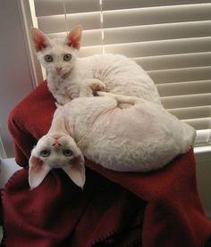 The Devon Rex cat is on the list of pet-friendly cats.