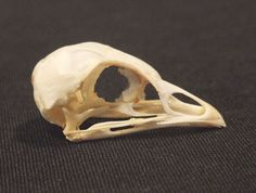 GROUSE SKULL real bird bone animal part for by ChimeraCurio, $24.00