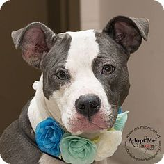 Urgent! I am at a full, high kill shelter in Troy, OH - Pit Bull Terrier. Meet Hayley, a dog for adoption. http://www.adoptapet.com/pet/15755790-troy-ohio-pit-bull-terrier