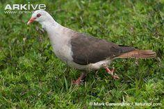 Pink Pigeon, Columba mayeri