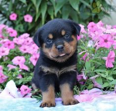 Rottweiler Puppies For Sale, Cute Puppies, Doggies, Adoption, Animals, Little Puppies, Foster Care Adoption, Animales, Animaux
