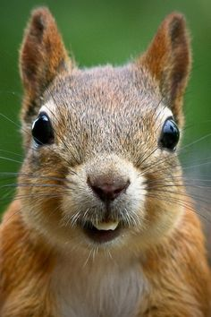 Why do squirrels lick leaves