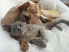 burmese cats  Kimi and Tigua