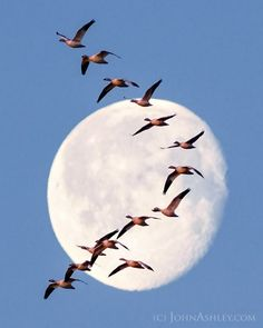 Snow goose moon- Migrating geese in front o the moon, caught on March 26 in Fairfield, Montana, by John Ashley Beautiful Moon, Beautiful Birds, Goose Tattoo, Grouse Hunting, Nature Story, Today Images, Snow Goose, Moon Pictures, All Birds