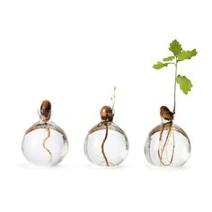 From acorn to oak: Pick several acorns, preferably in October, when they are in an ideal condition. Place the acorns in a bowl of water, and after 3 to 6 weeks, they should have started to germinate. Do not forget to change water often to avoid mould growth. Fill the Acorn vase with water and put your sprouting acorn in it. If the acorn is to small for the vase, use head pins to help it fit. After a further 3 to 6 weeks, a delicate little oak seedling will sprout.