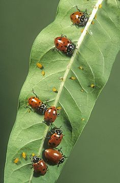 Aphid eaters...... I love these little helpers.
