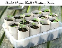 Toilet Paper Roll Planting Seeds Great idea to get started with...