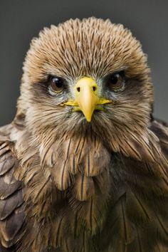 Juvenile Eagle ... #PleaseComeCloser  Zoom In - Close Up -Animals