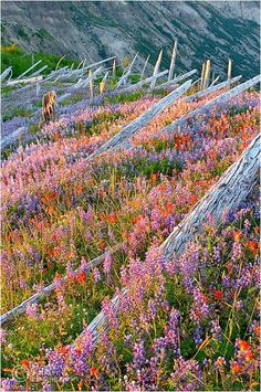 Trees destroyed by Mount St. Helens' eruption in the '80s making way for new flowers, by Zack Schnepf.