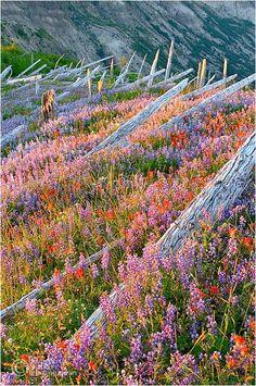 """""""Rebirth"""", Mt. St. Helen, Washington"""